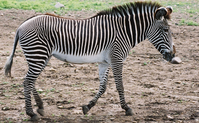 Grevy Zebra, unique