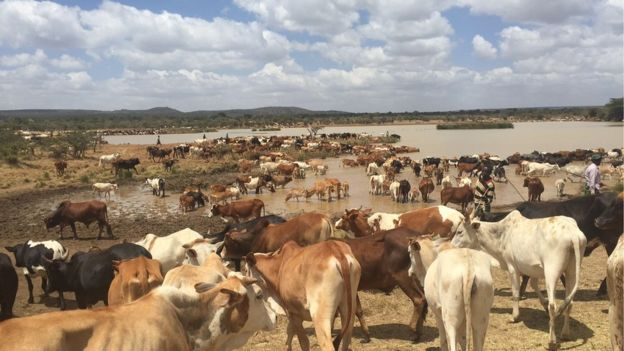 Cattle herds bring with them diseases