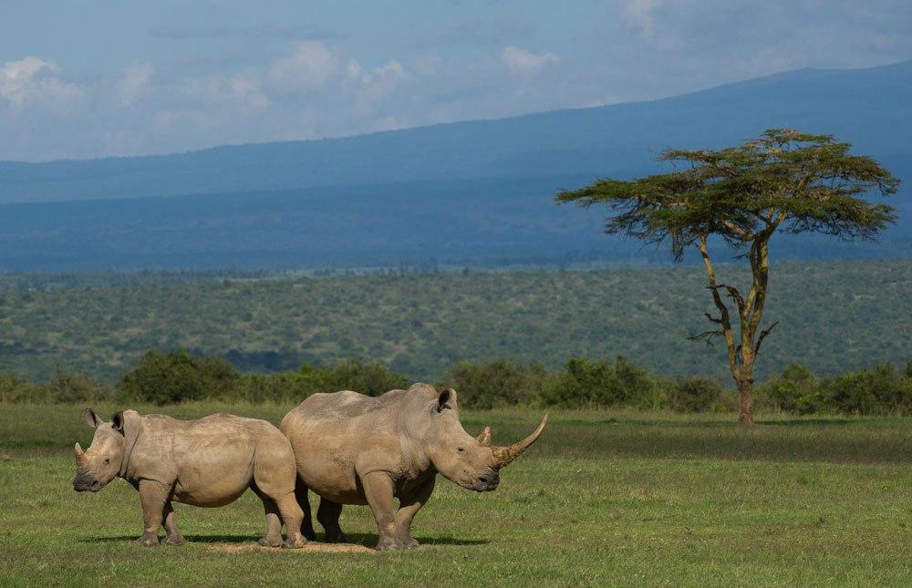 Endangered rhinos