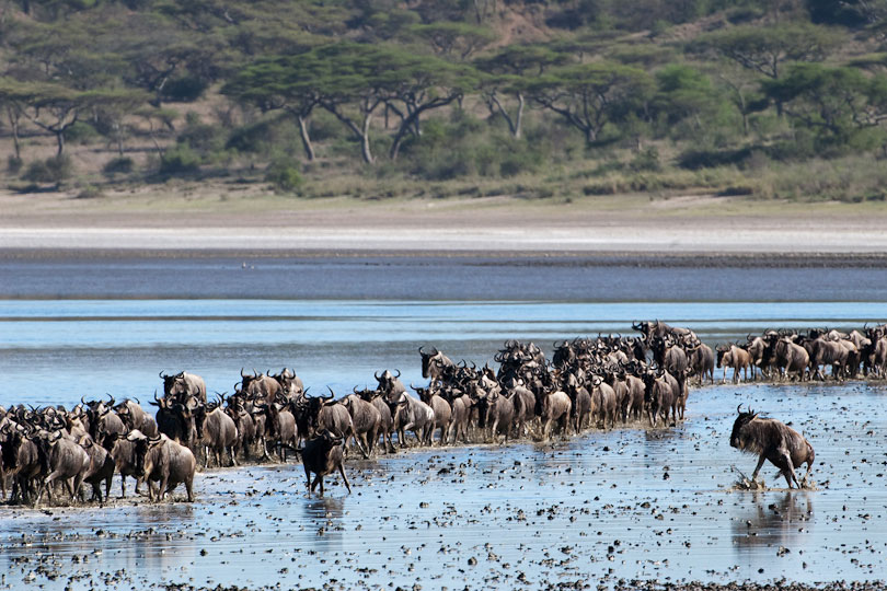 Herds of Wildebeest in January