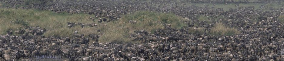 Part of the vast Wilderbeest herds