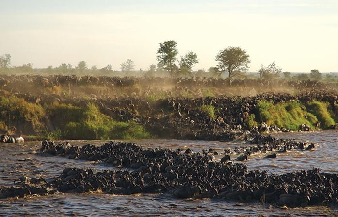 Migration Crossing the Mara River