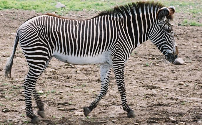 Grevy Zebra, unique