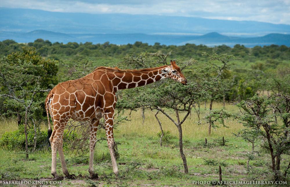 Giraffe one of the rare species in Laikipia